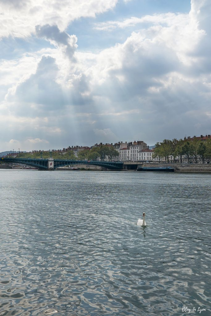 Cygne sur le Rhône